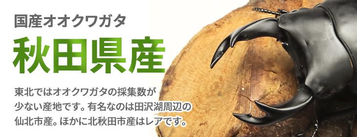 国産オオクワガタ 秋田県産 販売 ビートルファーム