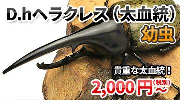 ヘラクレスヘラクレス(太血統)幼虫 販売 通販 専門店 購入