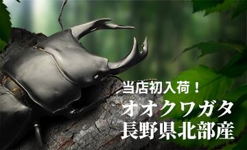 オオクワガタ長野県産 販売 通販 専門店 購入