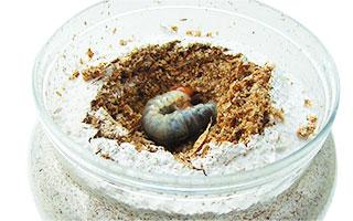虫スプーンなどを使って菌糸ビンに幼虫よりも一回り大きな穴を掘ります。