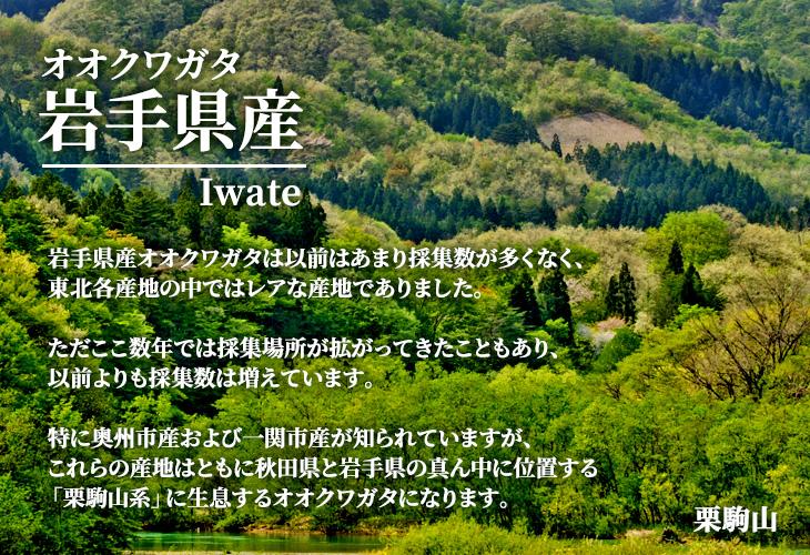 国産オオクワガタ 岩手県産 販売 通販 専門店 購入