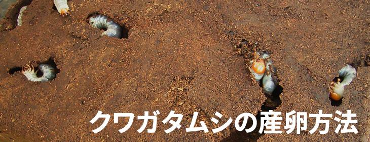 クワガタムシの産卵方法