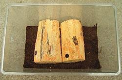 樹皮を剥いた産卵木を並べて置きます。