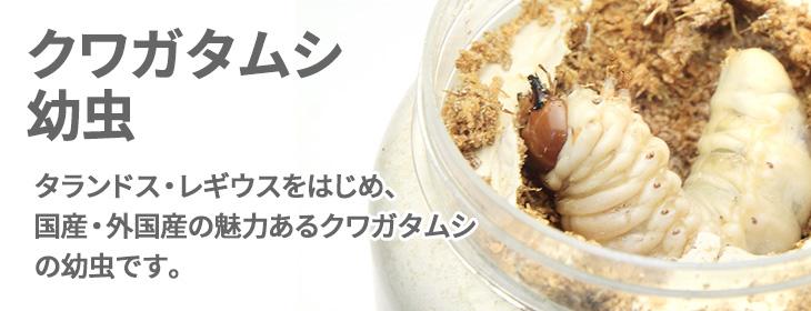 国産・外国産クワガタムシ幼虫の販売 ビートルファーム