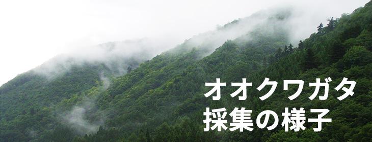 オオクワガタ採集の様子。灯火採集 福島県南会津