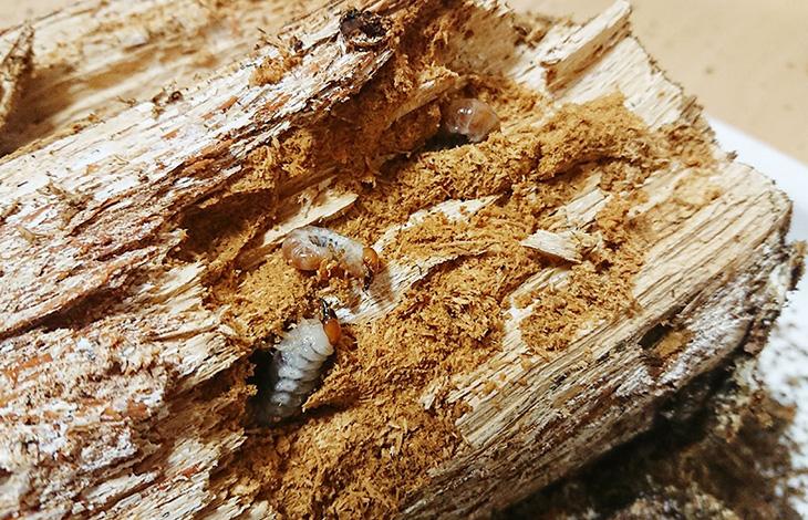 オオクワガタ幼虫の割り出しについて