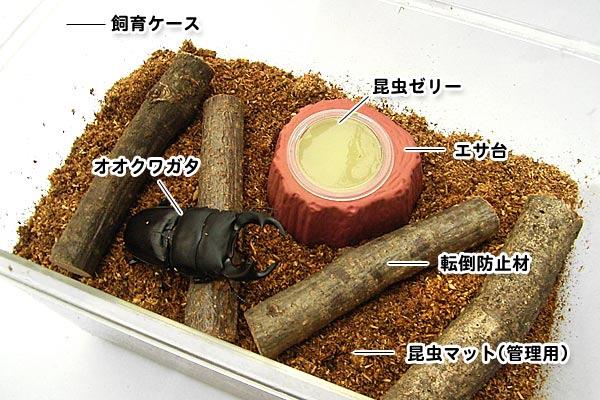 オオクワガタ成虫の飼い方。冬季の飼育方法も紹介。