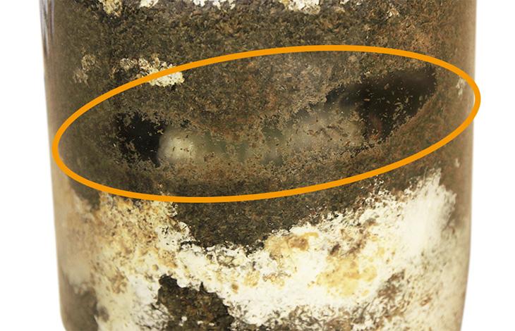 オオクワガタ幼虫の前蛹の様子