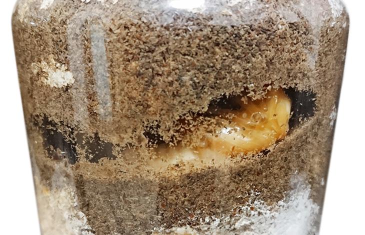 オオクワガタ幼虫の飼育方法について。菌糸ビンの飼い方を紹介。