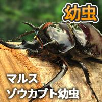 マルスゾウカブト幼虫