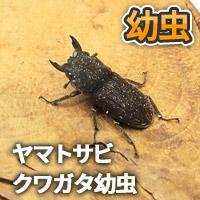 ヤマトサビクワガタ幼虫