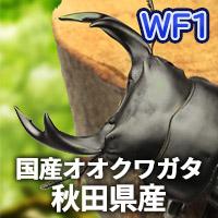 オオクワガタ秋田県産 販売 通販 専門店 購入