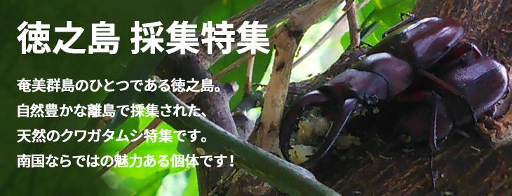 徳之島のクワガタムシ 採集・天然個体の特集 ビートルファーム