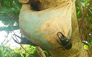 徳之島でのクワガタムシ採集はバナナトラップが多い。