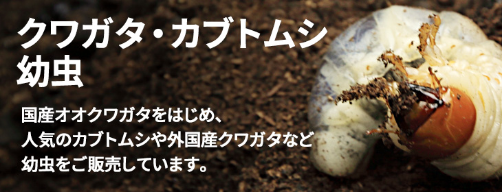 カブトムシ・クワガタムシ幼虫の販売 ビートルファーム